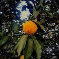 【実】柚子と夏みかん