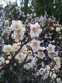 美しく咲く梅の花