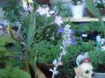 カワラナデシコ開花
