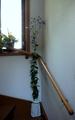 クレマ、キキョウ 室内用の飾り