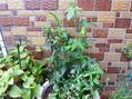久しぶりに寄せ植えを作りました。
