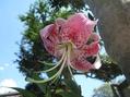 カノコユリが咲きました