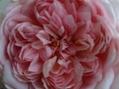 ポンちゃんの夏の花と、雅(みやび)の種