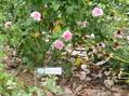 猛暑の薔薇園ー2