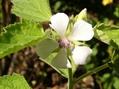マーシュマロウが咲いていた