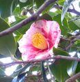 『まさよし椿』の初開花~🌸