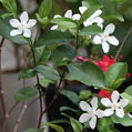 新入りの赤い花木