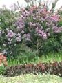 サルスベリ花盛り!