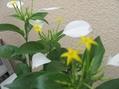 花は黄色、葉は白く
