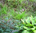 ヌスビトハギ(盗人萩)が咲いています