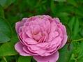 今朝の庭から薔薇3種
