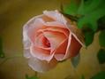 薔薇二番花 蕾