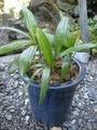 観音竹に新芽が出ました。