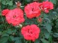 猛暑の中のバラ