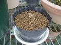 プルメリアの種まき
