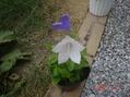 桔梗の白い花
