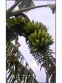 大人のバナナ、大人のポトス