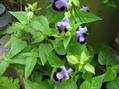 ミニカボチャ、トレニア、コリウスの花。