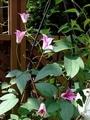 ギボウシの花とクレマチスの新芽