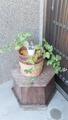 植木鉢に戻った朝顔