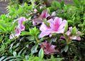 サツキ(皐月)夕霧の花