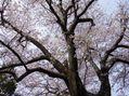 当地の隠れた桜の名所 パート2