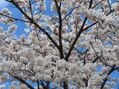 今日は桜日和でした。。