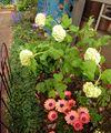 ビバーナムスノーボールが花が咲きました☺️