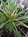 我が家の花🌼芽&蕾編⑫