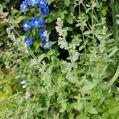 ブルーの花たち