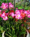 予想通りの開花