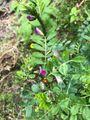 ラズベリーの苗木作り