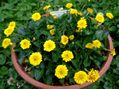 八重咲きヒメリュウキンカ