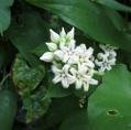 ガガイモ等の白い花