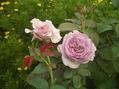夏剪定と今朝の庭