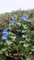 ヘブンリー・ブルーが咲きました。6