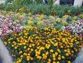 フランスの花壇は華やか
