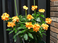 クロサンドラ 黄花