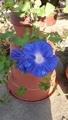 水栽培の朝顔の兄弟 3