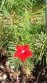 ルコウソウが咲きました 3