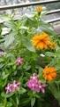 寄せ植えのお花