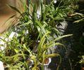 ミディカトレアの開花