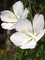 モミジアオイ・白花