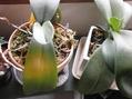 シンビジュームの花芽と日焼け