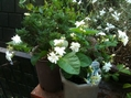 バラ新苗の支柱づくり・花咲く