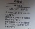 ホーム・センターで嵯峨菊を買った
