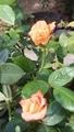 今日の薔薇 3