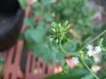 蜂そしてテントウムシ幼虫