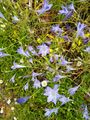 ベルガモット・ホタルブクロ(赤花)・トリテレイア