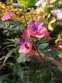 チャイニーズハットが咲きました